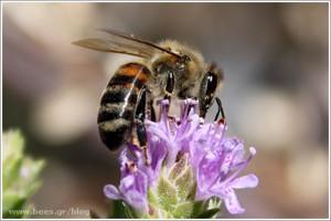 Επικονίαση στο θυμάρι από μέλισσα